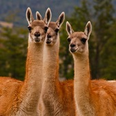 Guanacos for CP 5
